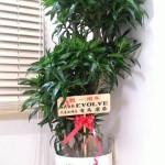 1周年祝いに観葉植物をいただきました。